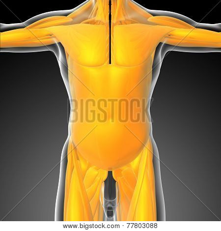 3D Render Medical Illustration Of The Human Muscle