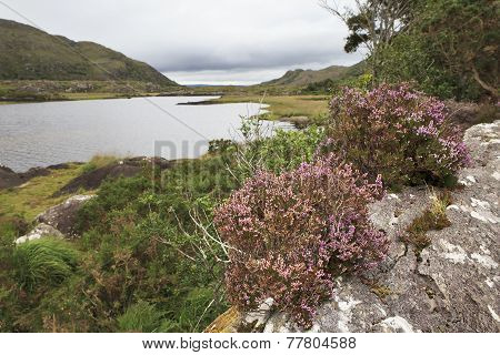 Blooming heather on background the Upper Lake