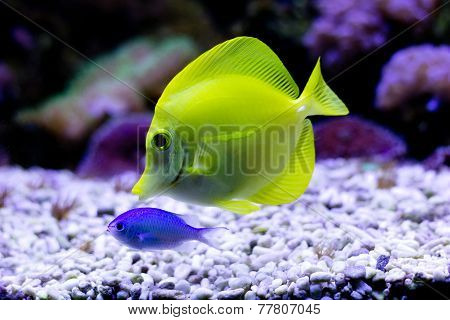 Yellow Tang (Zebrasoma flavescens) in aquarium
