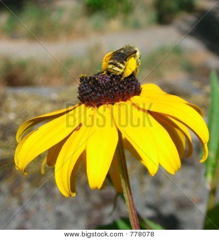 Yellow Bee on Yellow Flower