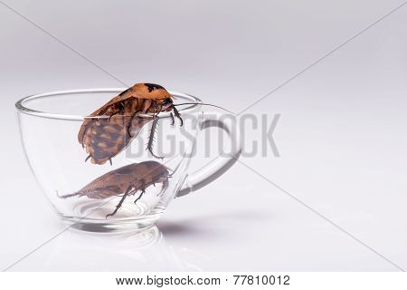 Madagascar hissing cockroach on white background