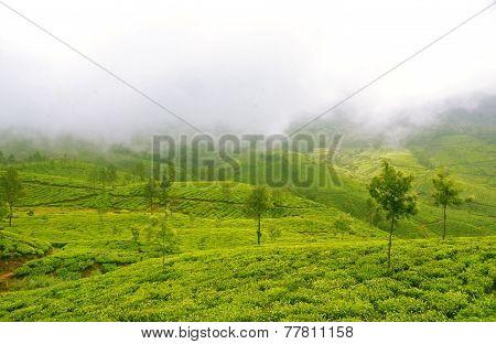 Plush Slopes Of Tea Hills In Mist