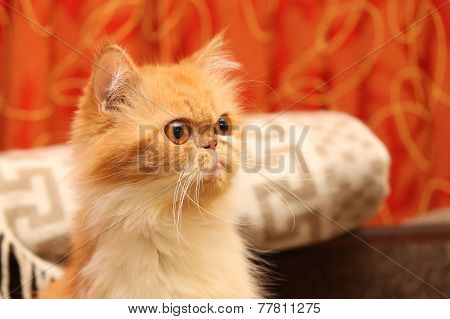 Beautiful persian cat on a background of the home environment