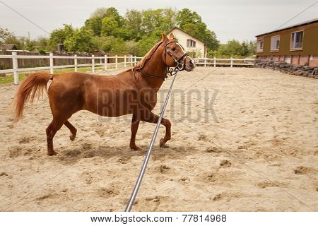 Young Arabian Horse