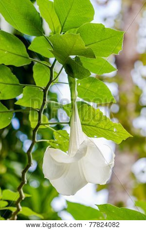 Angel Trumpet Flower In Full Bloom, Datura