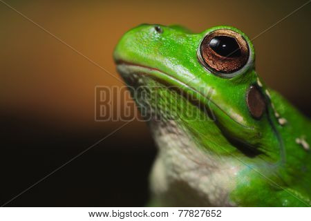 frog portrait Hypsiboas riojanus a Bolivian tree frog living in the high valleys of the Andes