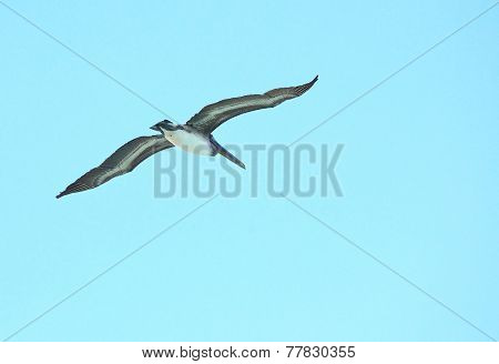 Brown Pelican soars in the sky.