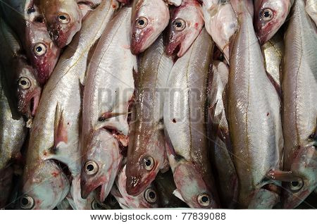 Whiting A Codfish