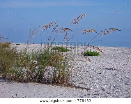 sea-oats