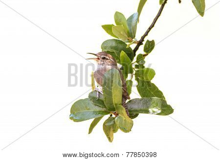 Carolina Wren - Thryothorus Ludovicianus - And Rain Drops