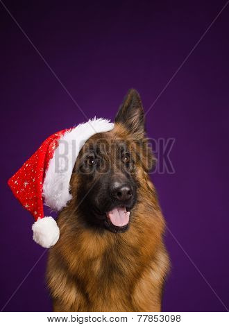 German Shepherd in a Christmas hat. Purple background.