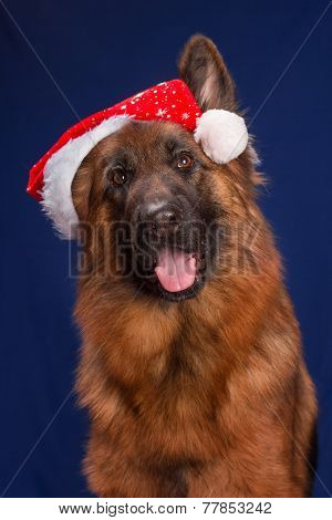 German Shepherd in a Christmas hat. Blue background.