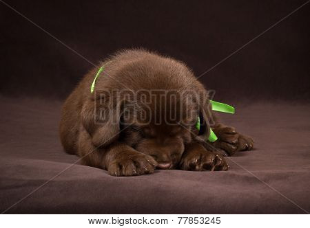 Chocolate labrador puppy sleepingon a brown background