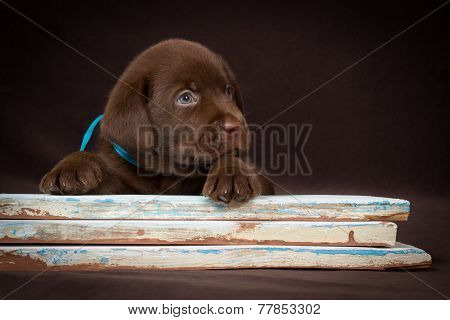 Chocolate labrador puppy lying on the colored boards. Brown background.