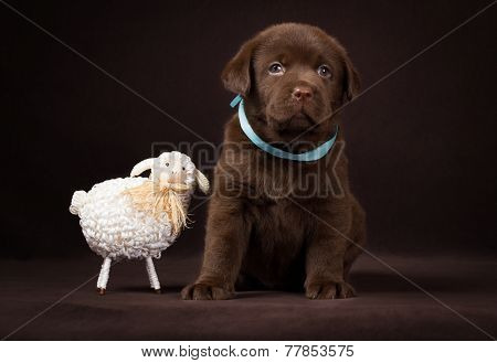 Chocolate labrador puppy sitting next to  white decorative sheep on a brown background.