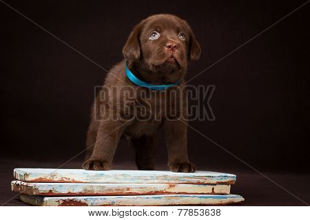 Chocolate labrador puppy standing on a painted board and looking up.
