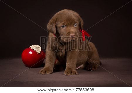 Chocolate labrador puppy sitting on a brown background near red apples and looking away
