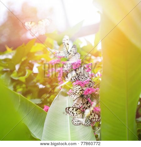 Beautiful paper kite butterflies (tree nymph) collecting nectar from pink flowers against the evening sun
