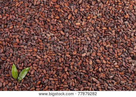 cocoa beans with leaves