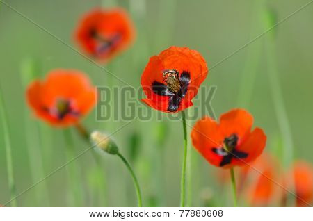 Blossom of bright wild poppies with seeds