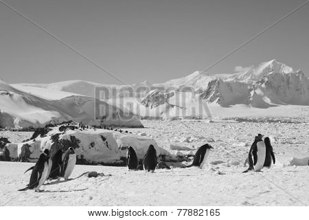 large group of penguins having fun on the snowy hills of  Antarctica