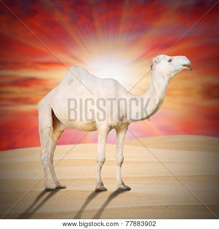 The Arabian camel or The Dromedary (Camelus dromedarius) on the desert against sunset sky.