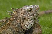 stock photo of guayaquil  - Head shot of a Green Iguana in Guayaquil Ecuador - JPG