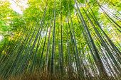 Постер, плакат: Bamboo Groves Bamboo Forest