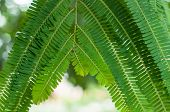 pic of tamarind  - Close up of tamarind leaves and branch - JPG
