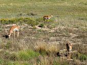 pic of mule deer  - Three Mule Deers in Bryce Canyon National Park - JPG