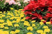 image of poinsettias  - Poinsettia and Chrysanthemum flowers - JPG