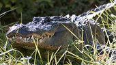 foto of creeping  - American alligator creeping through long grass near swamp - JPG