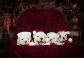 pic of christmas puppy  - Four bulldog puppies posing for their first Christmas - JPG