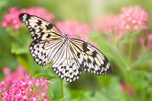 pic of nymphs  - Beautiful paper kite butterfly  - JPG