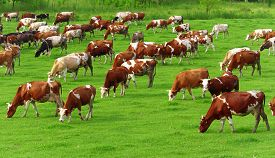 picture of cattle breeding  - Cows grazing on pasture - JPG