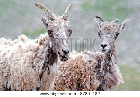 Scrawny sheep