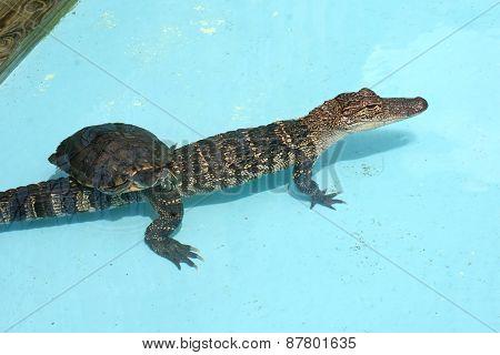 Alligator And Turtle