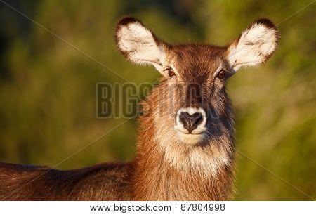 Waterbuck  Antelope Portrait