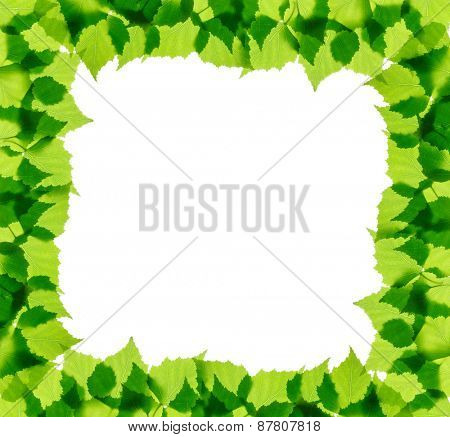 Green birch leaves frame isolated