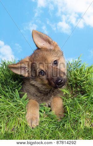 Cute little nine weeks old german shepherd puppy sitting in grass