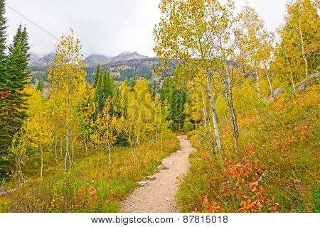 Aspen In Fall Colors In The Mountains