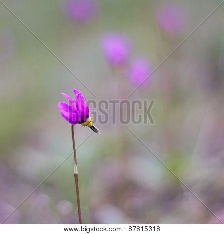 Shooting Star Purple Wildflower
