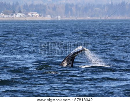 Gray Whale Diving
