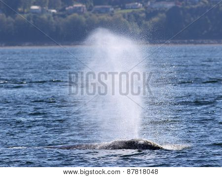 Gray Whale Spouting in the Sunshine
