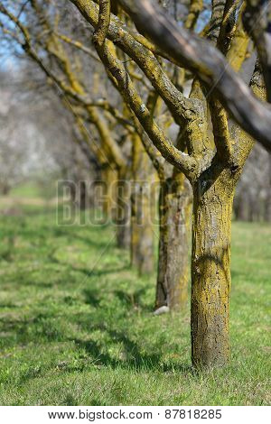 Apple Orchard In The Spring Season