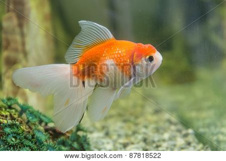 Goldfish Closeup