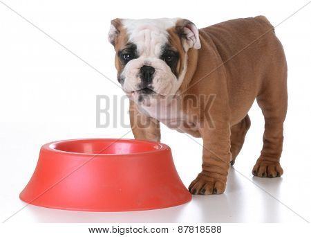 feeding the puppy - english bulldog standing beside red food bowl with happy expression