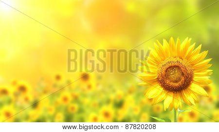 Bright yellow sunflowers and sun