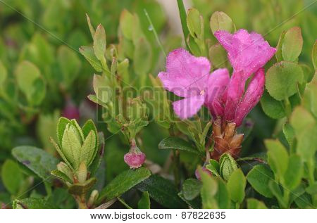 Pink flowers in a mountain meadow. Blooming Rhododendron closeup