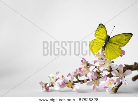 Yellow Green Butterfly Insect Resting on Small White and Pink Orchid Flowers with Stem, Emphasizing Copy Space at the Right. Isolated on White Background.